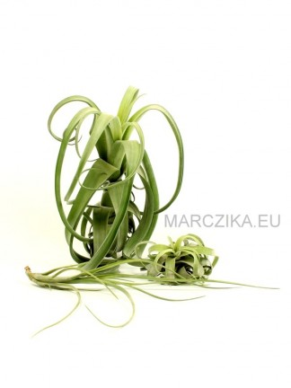 Tillandsia 'Curly Slim' Family packet