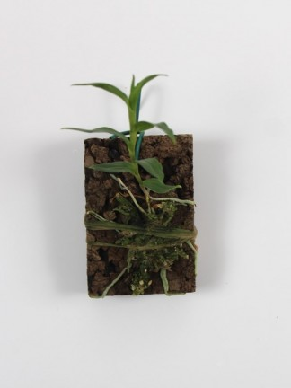 Dendrobium victoria -reginae