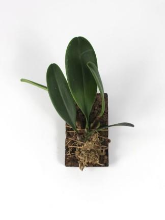 Bulbophyllum arfakianum