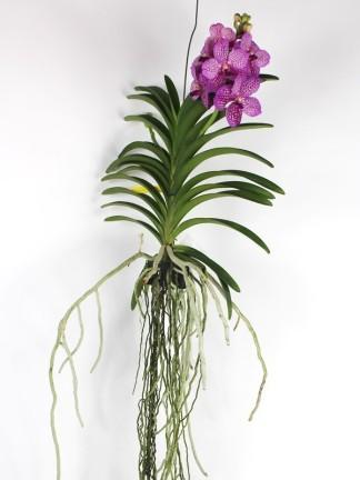 Vanda orchidea világos rózsaszín alap sötét foltokkal