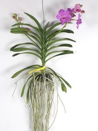 Vanda orchidea rózsaszín virággal