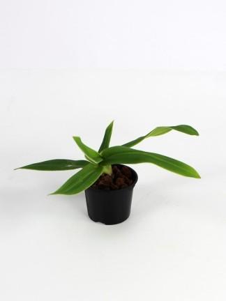 Phragmipedium besseae 'Chiguinda'