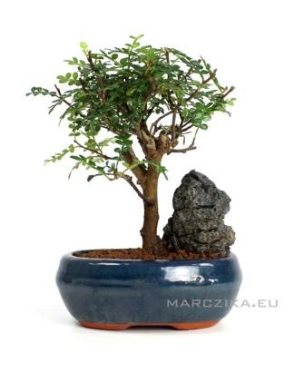 Beltéri bonsai - Zanthoxyllum piperitum ( Borsfa ) 16 cm - es tálban