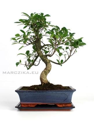 Beltéri bonsai - Ficus retusa 30 cm - es tálban alátéttel