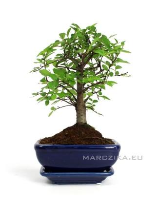 Kínai szil bonsai - Ulmus parvifolia 13cm - es tálban