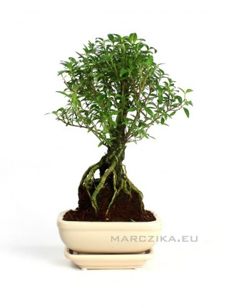 Beltéri bonsai - Serissa foetida 15cm - es bonsai tálban alátéttel