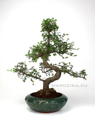 Kínai szil bonsai - moyogi stílus kerek tálban - Ulmus parvifolia