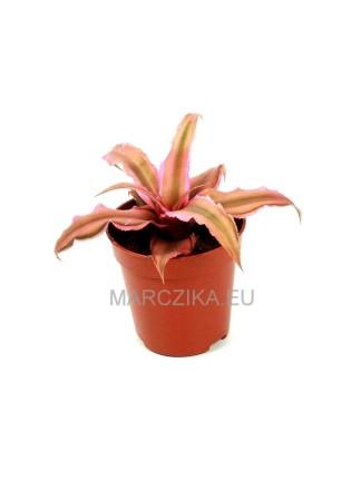 Cryptanthus 'Pink Starlite'