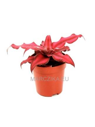 Cryptanthus 'Ruby'