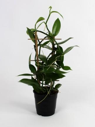 Vanila planifolia