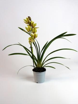 Cymbidium 1 virág száras