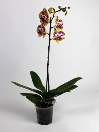 Phalaenopsis 1 száras