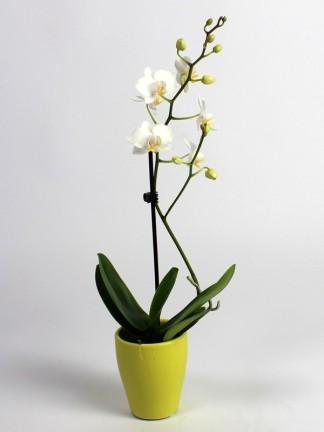 Phalaenopsis 1 száras fehér virágú mini