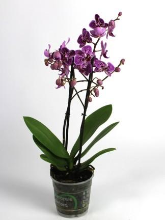 Phalaenopsis 2 száras apró virágú 04.