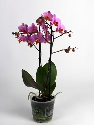 Phalaenopsis 2 száras rózsaszín virágú
