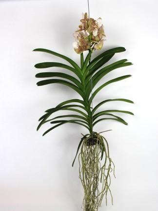 Vanda orchidea 010.