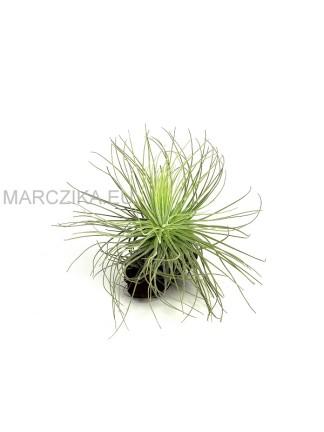 Tillandsia magnusiana
