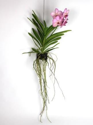 Vanda orchidea 013.
