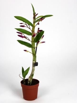 Dendrobium nobile 'Nikkou'