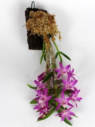 Dendrobium nobile 'Nikkou' parafa lapon