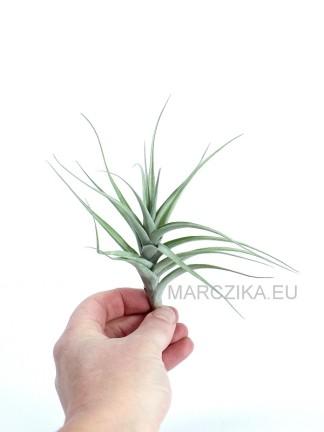 Tillandsia queroensis