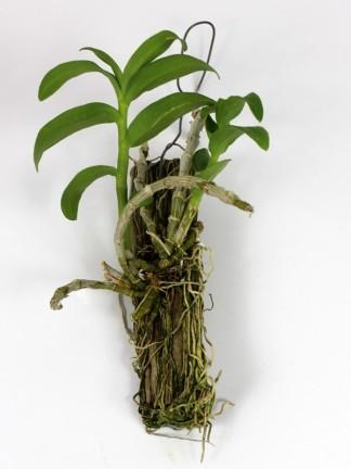Dendrobium anosmum semi alba
