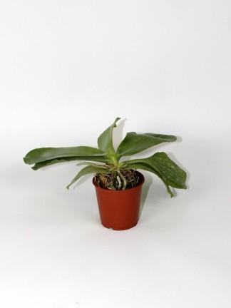 Phalaenopsis speciosa 'Blue' x  lueddemanniana Blue