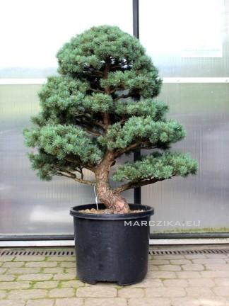Pinus parviflora - Goyomatsu - niwaki 1.