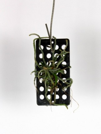 Chilochista viridiflava sakura