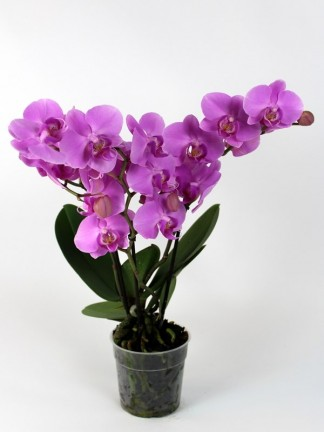 Phalaenopsis 3 virágszáras