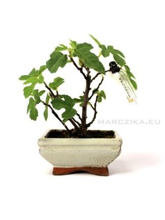 Füge bonsai - Ficus carica