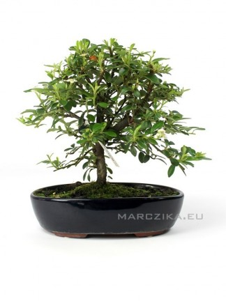 Madárbirs bonsai - Cotoneaster Sp. -