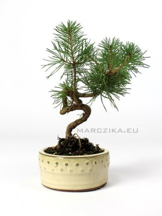 Fenyő bonsai alapanyag - shohin méretkategória - Pinus sylvestris