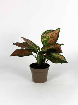 Aglaonema 'Spotted Red Star'