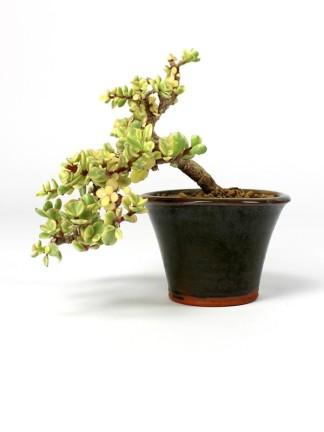 Tarka levelű kaszkád bonsai - Portulacaria afra 'Variegata'