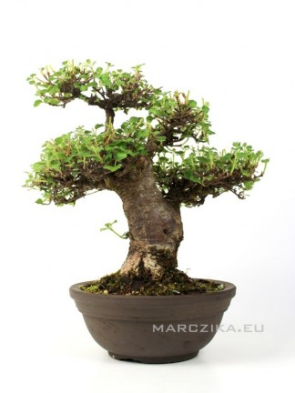 Viburnum sp. - Japán shohin bonsai