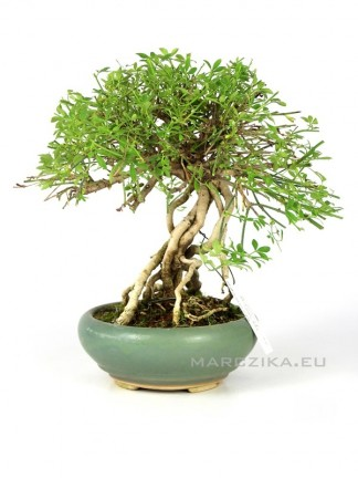 Téli jázmin shohin bonsai - Neagari Jasminum nudiflorum Japánból