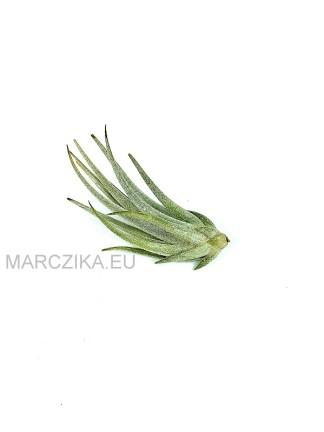 Tillandsia mitlaensis