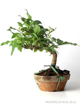 Euonymus japonicus kicsi shohin bonsai Japánból