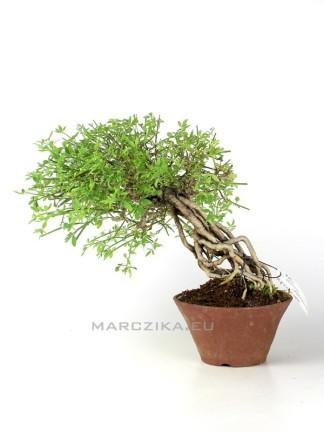Téli jázmin neagari shohin bonsai - Jasminum nudiflorum Japánból