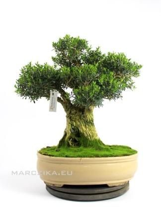Buxus harlandii bonsai 28.