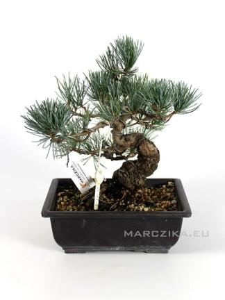 Pinus parviflora - Goyomatsu bonsai Nr. 6.