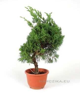 Juniperus chinensis 'Kishu' bonsai alapanyag 03.