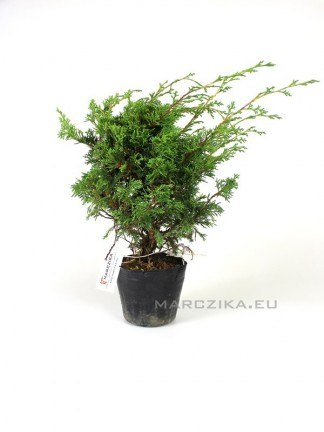 Juniperus chinensis 'Itoigawa' - japán shohin bonsai alapanyag 04.