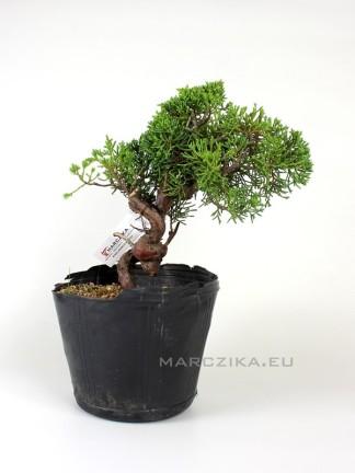 Juniperus chinensis 'Kishu' shohin bonsai alapanyag 01.