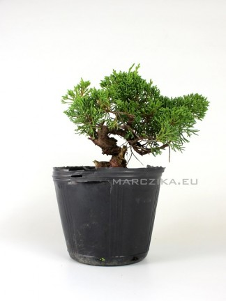 Juniperus chinensis 'Kishu' shohin bonsai alapanyag 02.