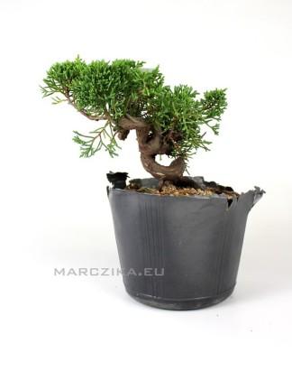 Juniperus chinensis 'Kishu' shohin bonsai alapanyag 03.