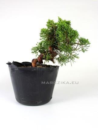 Juniperus chinensis 'Kishu' shohin bonsai alapanyag 05.