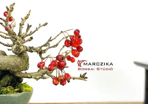 Mit tartogat a bonsai kedvelőknek az ősz?