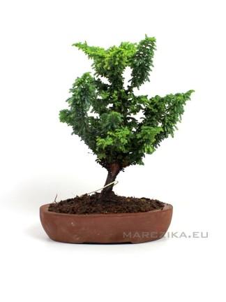 Japán shohin bonsai alapanyag - Chamaecyparis obtusa 'Sekka'